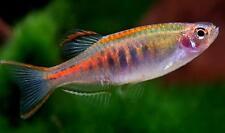 5 Danio Glowlight Choprae Freshwater Aquarium Fish