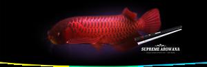 Ocean Free Supreme Arowana color Valorizzazione Luce Led Red (175 cm) 57 W