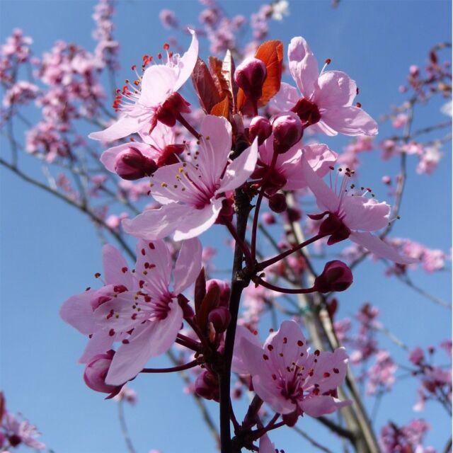 Prunus Cerasifera Nigra Purple Leaf Cherry Plum Tree Grown Peat Free 4ft