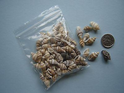 100 SMALL SEASHELLS Sea Shells Craft Wedding Beach Theme Confetti Table Decor