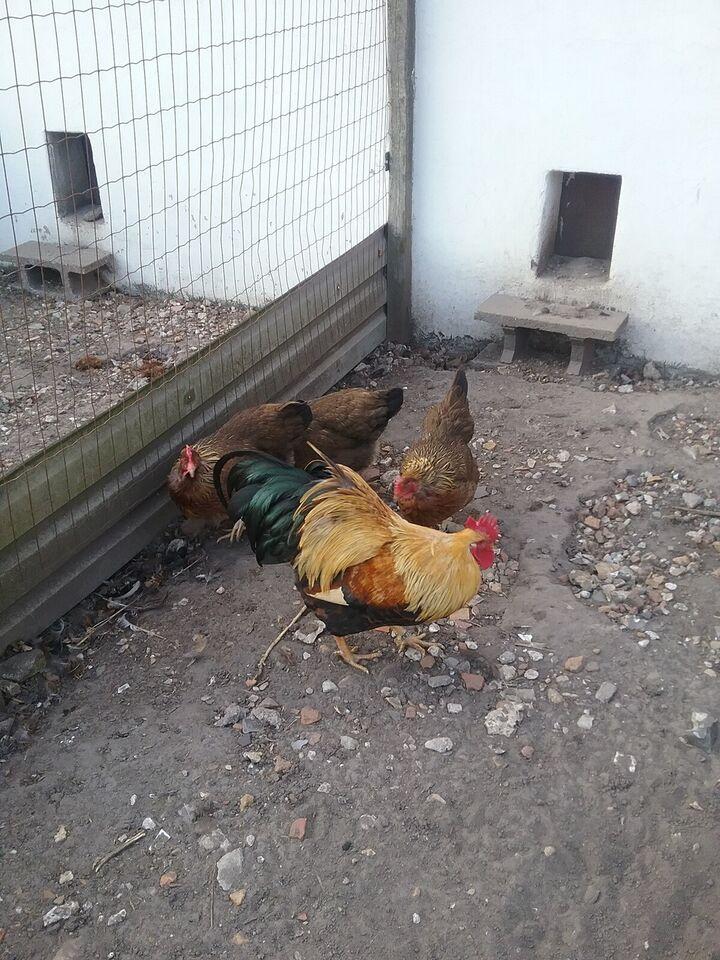 Høns, 4 stk.
