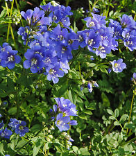JACOB'S LADDER * Polemonium reptans *  NATURALIZES WELL IN SHADY AREAS * SEEDS