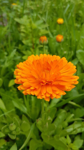 braun für  Balkon Garten, Topf Kübel Ringelblume Mischung goldgelb,orange