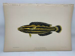 Antique-Lithographic-Print-Reef-Fishes-Hawaiian-Islands-Bien-1903-Plate-28
