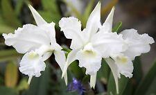 Orchid species Cattleya lueddemaniana alba