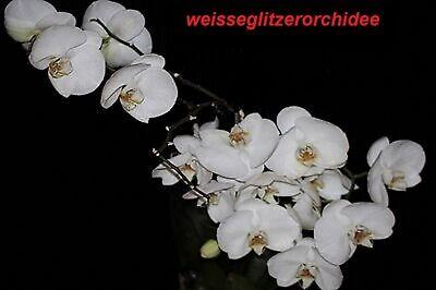 weisseglitzerorchidee