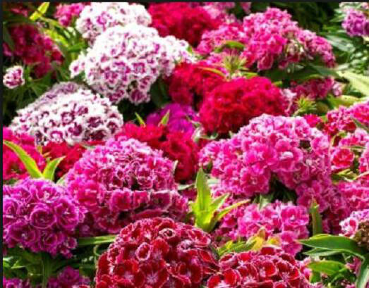 Sweet William Dianthus Tall Dble Mixed Colors 100 Seeds Butterflies Hummingbirds