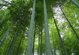 Phyllostachys edulis Moso Bamboo Seeds 100+ fresh seeds US SELLER