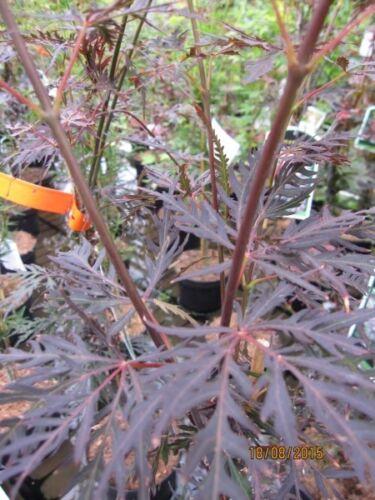 Acer palmatum Firecracker Japanischer Ahorn Firecracker