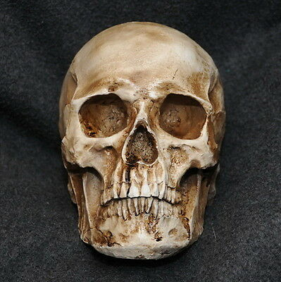 Resin Replica Life Human Skull Model Medical Anatomy Halloween Collectable U