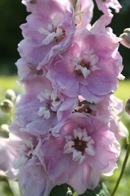 PERENNIAL FLOWER DELPHINIUM CHERRY BLOSSOM WITH WHITE BEE 60 SEEDS