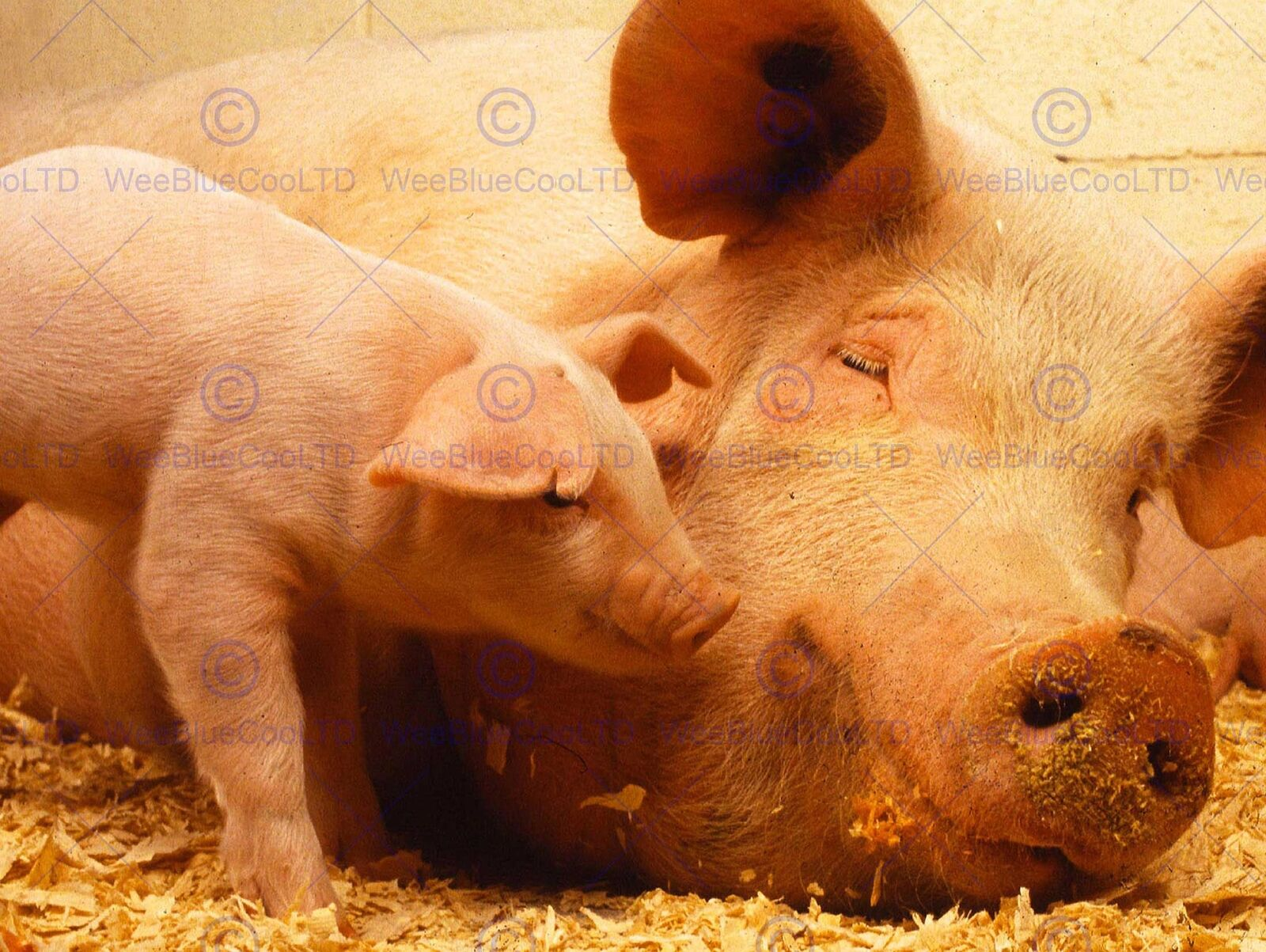 PHOTO ANIMAL PIG PIGLET CUTE FARM PINK BABY BABE ART PRINT POSTER MP3612B