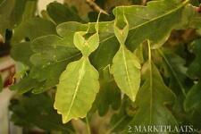 3 X Phyllium philippinicum ninfas; hoja (palillo) insecto