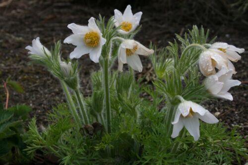 PASQUE CROCUS EASTER WHITE ANEMONE PULSATILLA 25 DEER RESIST FLOWER SEEDS