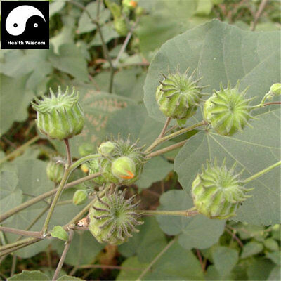 Dong Kui Zi 50 seeds Medicinally Malva verticillata seeds