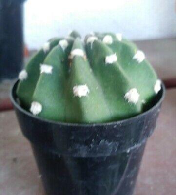 ECHINOPSIS SUBDENUDATA /'DOMINOS/' in high quality cactus mix