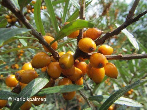 Hippophae rhamnoides winterharte Pflanze 60-90cm Fasanenbeere Sanddorn