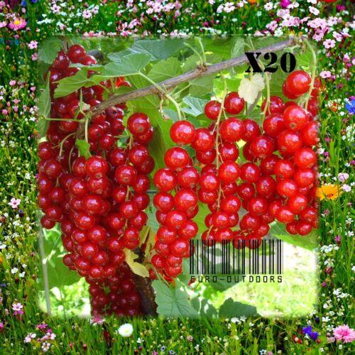 ROTE JOHANNISBEERE aus Russland ☼ Samen sehr süß/&aromatisch ☺ GMO-Frei √ 20st