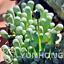 Bonsai-100-pieces-graines-Fenestraria-aurantiaca-succulentes-plantes-Bricolage-Maison-Jardin-Nouveau miniature 1