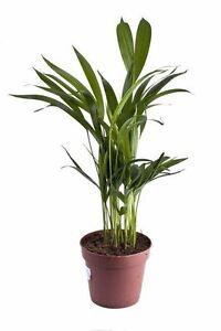 f r drinnen eine palme welche die luft s ubert die sch ne bergpalme ebay. Black Bedroom Furniture Sets. Home Design Ideas
