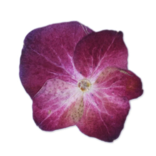 12pcs Real Pressed Flowers dried pressed Hydrangea flower Nature jewelry