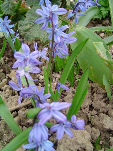Blausternchen Frühjahrsblüher 20 Samen