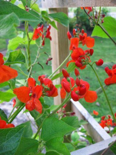 Phaseolus Coccineus 10 OR 50 Seeds Scarlet Emperor Runner Bean Vine Non-GMO