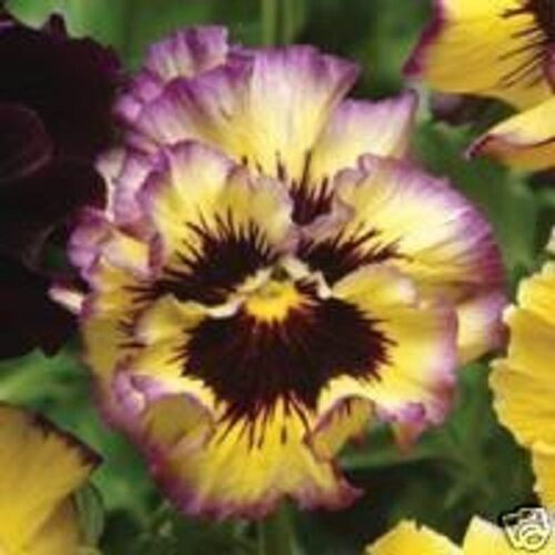 NEW! 30+ RUFFLED PANSY FIZZY LEMONBERRY FLOWER SEEDS