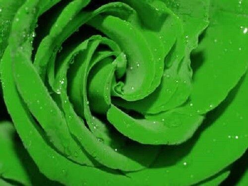 Gift /& Comb S//H 5 GREEN ROSE Rosa Bush Shrub Perennial Flower Seeds