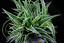 Chlorophytum-Comosum-Seeds-Home-Flowers-Garden-Bonsai-Pots-100-Pcs thumbnail 1