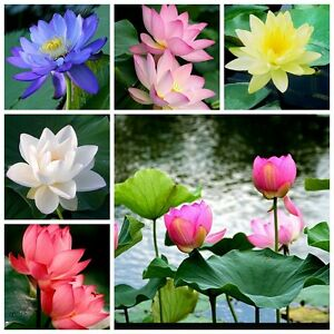 11 red yellow white lotus nymphaea asian water lily pad flower pond image is loading 11 red yellow white lotus nymphaea asian water mightylinksfo