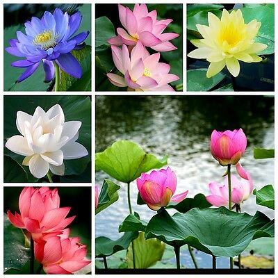 1 X DEEP RED LOTUS WATER LILY PLANT ABSOLUTELY BEAUTIFUL YOUNG PLANT