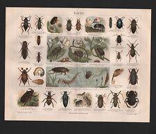Chromo-Lithografie 1887: KÄFER. Johanniswürmchen Echter Maiwurm Insekten Pflanze