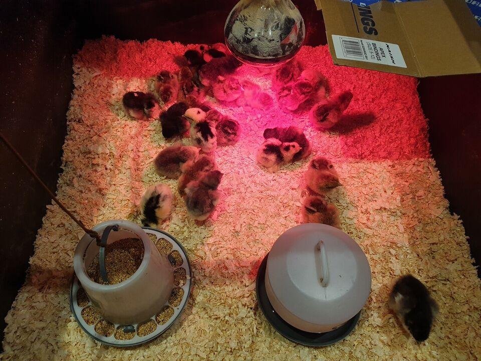 Kyllinger, 17 stk.