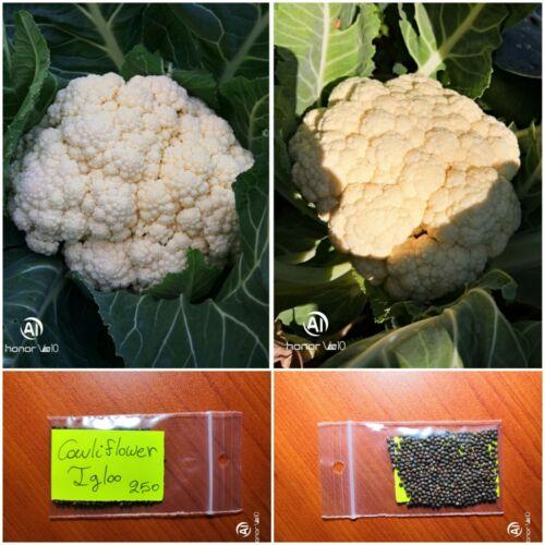 Early Variety Top Quality Seeds White Cauliflower /'/'Igloo/'/' ~250 Heirloom