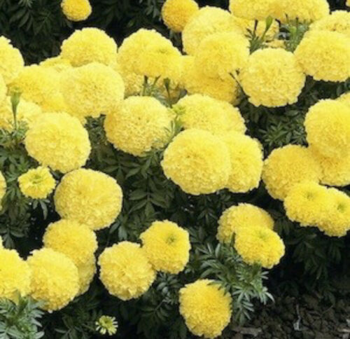 """Live Plants Large  6-9"""" AFRICAN CRACKERJACK MARIGOLD YELLOW Inca 3 Sold Out"""
