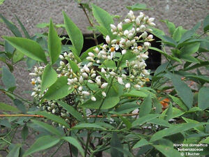 Garten-Pflanzen-Samen-winterharte-Zierpflanze-Saatgut-Staude-HEILIGER-BAMBUS