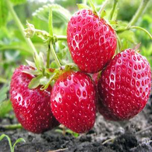 Honey sweet BARE ROOT PLANTS 10 OZARK BEAUTY EVERBEARING STRAWBERRIES