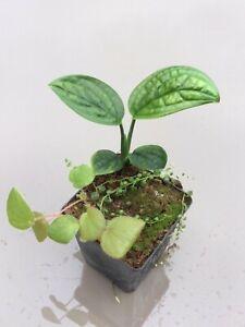 "Terrarium plant ""package"" Monstera Begonia Peperomia"