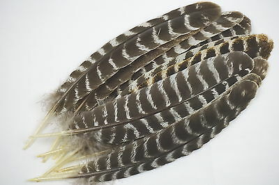 12 #1 WILD TURKEY JUVENILE SEC. WING FEATHERS BARRED ROUNDS CRAFTS