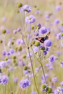Exot-Garten-Pflanzen-Samen-winterharte-Zierpflanze-Saatgut-Kraeuter-TEUFELSABBISS