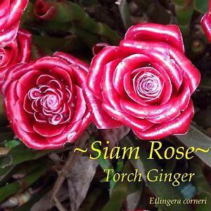 Siam Rose Etlingera Corneri Collector S Torch Ginger Live Potted