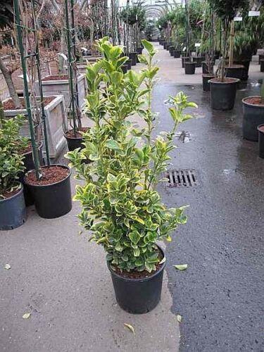 Japanischer Spindelstrauch Elegantissim Euonymus japonicus Elegantissima Aurea