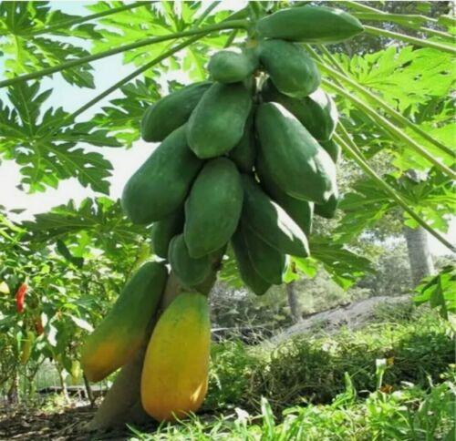 Bi-sexual Thai Dwarf Papaya 25 Seeds