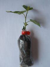 Black Mulberry, Morus Nigra, Container Grown Plug Plants.