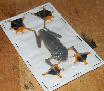 Lot of 10 Java Flying Gliding Parachute Frog Rhacophorus reinwardti Male Fast from USA