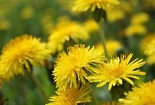 DANDELION - 1GM  SEEDS - medicinal flower Endive - TORTOISE FOOD