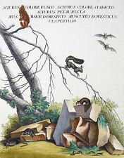 JOHANN ELIAS RIDINGER - Eichhörnchen und Mäuse - Radierung - um 1760
