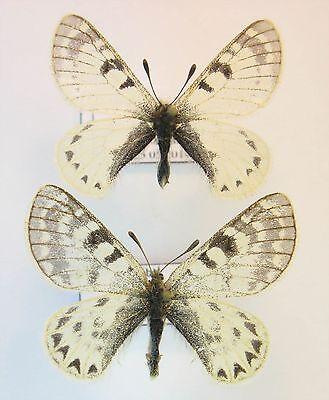 Parnassius hunnyngtoni fujikawai pair (Papilionidae)