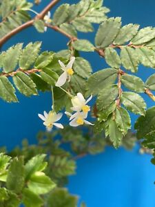 Begonia-foliosa-v-miniata-2-Inch-Divisions-Wonderful-Windowsill-Plants-Easy-Care